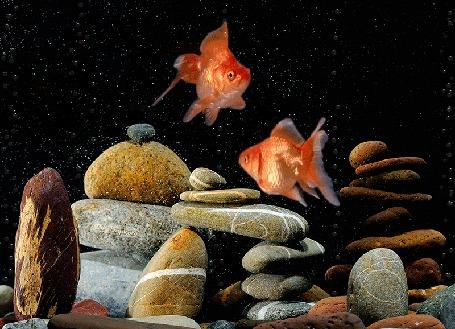 Анимация Золотые рыбки плавают над камнями среди пузырьков