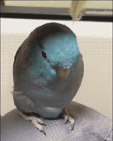 Анимация Попугаю на голову вставляют два желтых пера и он становится похожим на зайчика