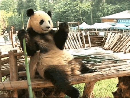Анимация Панда с наслаждением поглощает стебель молодого бамбука