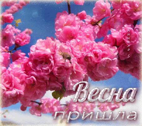 Анимация Веточки деревьев утопающие в распустившихся, сказочно красивых, розовых цветках на фоне голубого неба, (Весна пришла) , автор Анжела S