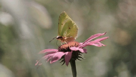 Анимация Желтая бабочка на розовом цветке