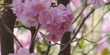 Анимация Весенняя цветущая ветка колышется от ветра