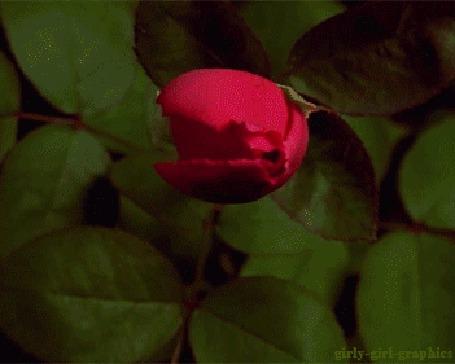 Анимация Красная роза распускает свой бутон