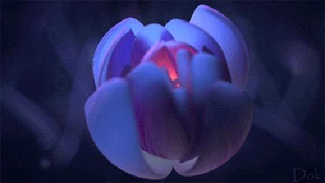 Анимация Распускающийся розовый цветок