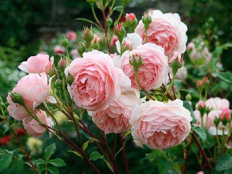 Анимация Розовые розы на кусте