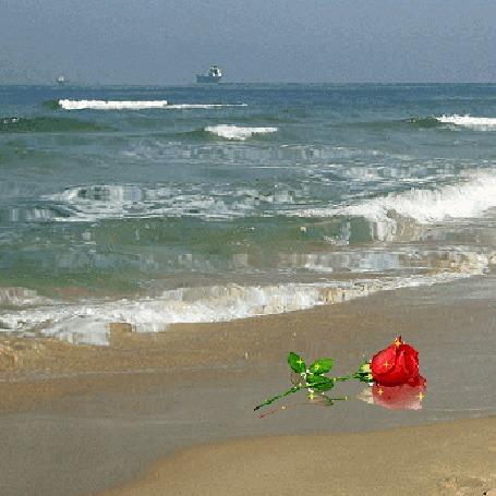 Анимация Красная роза с блестяшками лежит на морском берегу