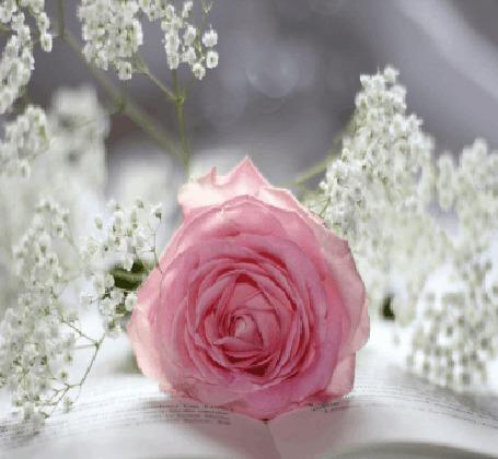 Анимация Розовая роза и мелкие белые цветы лежат на страницах открытой книги