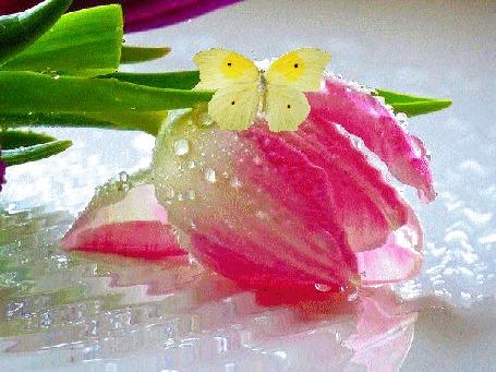 Анимация Желтая бабочка на розовом тюльпане в каплях росы