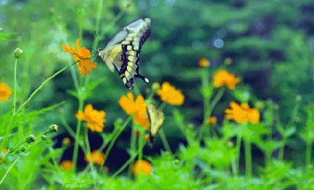 Анимация Бабочки садятся на желтые цветы