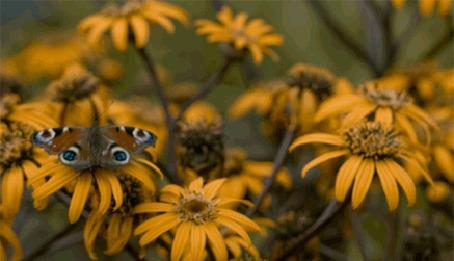 Анимация Бабочка сидит на желтом цветке и машет крыльями