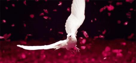 Анимация Парящий белый голубь на фоне падающих розовых лепестков