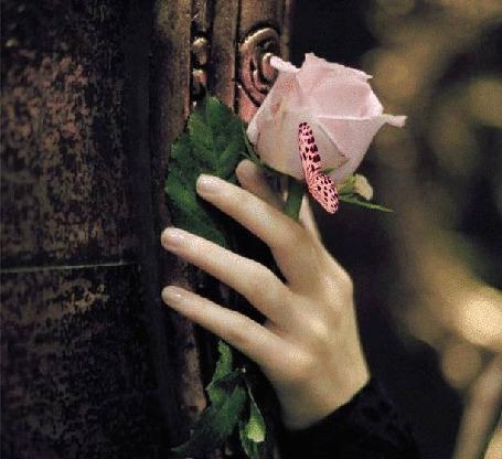 Анимация Нежно-розовая бабочка машет крылышками, сидя на розе в руке девушки