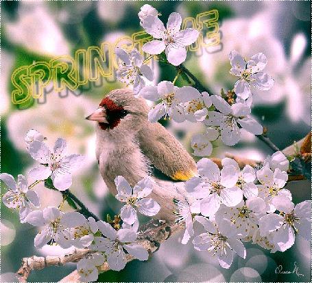 Анимация Птичка на весенней ветке, (Spring / весна), анимация Ольга П