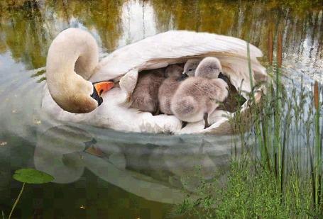 Лебедь с птенцами на воде