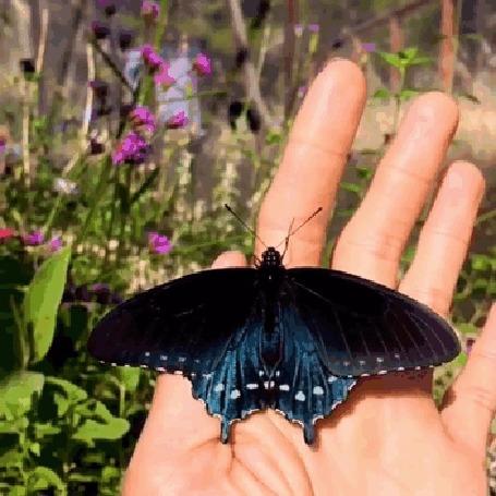 Анимация Черно-голубая бабочка слетает с руки