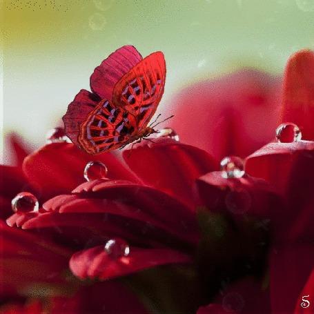 Анимация Порхающая красная бабочка на гербере с каплями росы