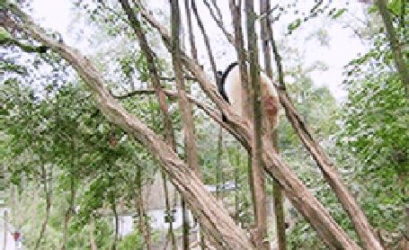 Анимация Панда лазит по деревьям и смешно висит на ветвях