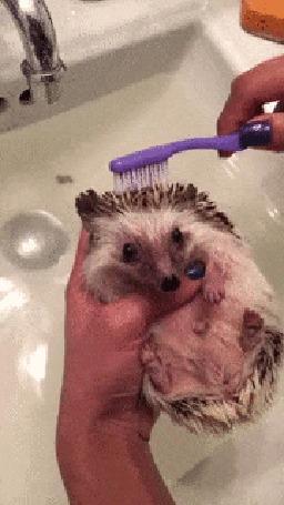 Анимация Ёжика искупали в ванне и теперь причесывают зубной щеткой