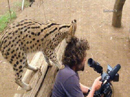 Анимация Сервал обнюхивает фотографа, а затем трется головой о его пышную шевелюру