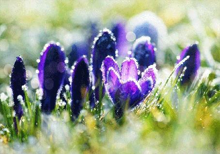 Анимация Весенние цветы крокусов