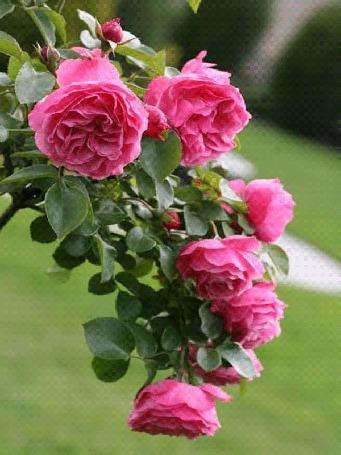 Анимация Веточка розовых роз