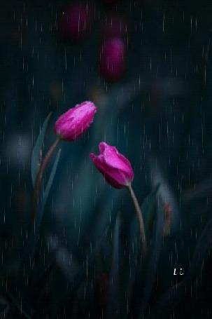 Анимация Розовые тюльпаны под дождем