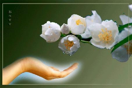 Анимация На руку с весенней цветущей ветки капает роса