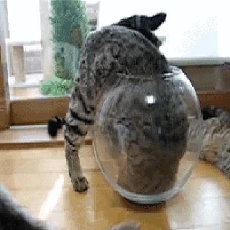 Анимация Одна кошка забирается в круглый аквариум, а две других пытаются ее достать