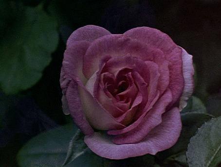 Анимация Красивая розовая роза распускается