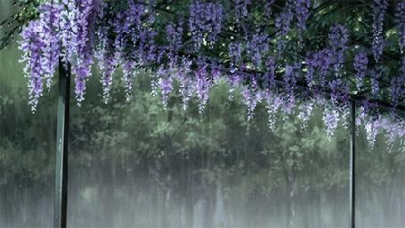 Анимация Цветущая глициния под дождем