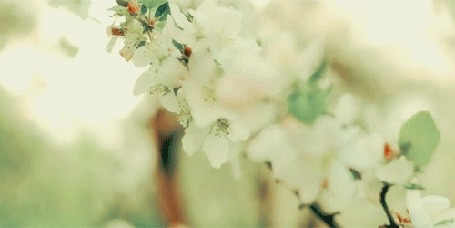 Анимация Весенняя цветущая веточка колышется от ветра