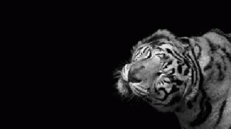 Анимация Тигр трясет головой