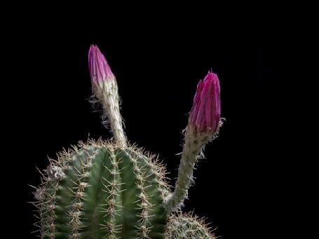 Анимация Красиво распускающиеся цветы на кактусе