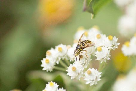 Анимация Пчелка сидит на белых цветках