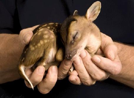Анимация Спящий маленький олененок в мужских руках