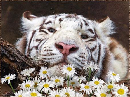 Анимация Тигр лежит у ромашек