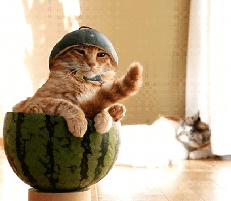 Анимация Кот важно восседает в арбузной корке, но потом скидывает шапочку из арбуза и вываливается оттуда, на заднем плане две кошки тщательно вылизывают друг друга