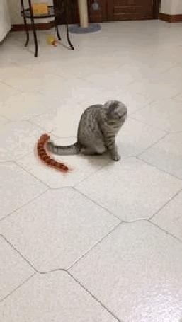 Анимация Кошка недоуменно наблюдает за огромной сколопендрой, которая описывает вокруг него круги