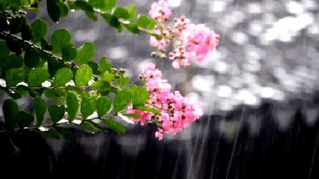Анимация Цветущие ветки под дождем