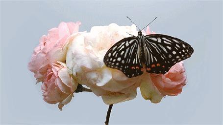 Анимация Бабочка прилетела и порхает на розе