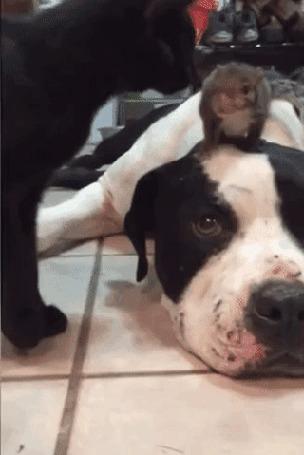 Анимация Собака не дает в обиду сидящую на ней белку