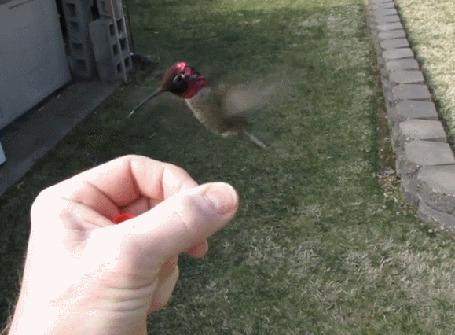 Анимация Колибри бесстрашно пьет нектар из цветка, зажатого в руке человека