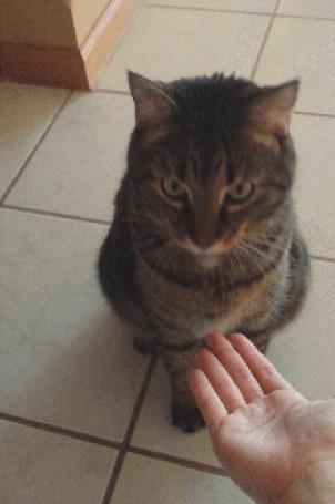 Анимация Кошку учат подавать лапу