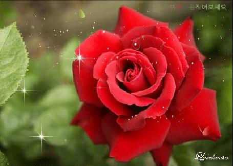 Анимация Красная роза в блестках и бабочка, подлетающая к ней