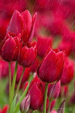 Анимация Красные тюльпаны под дождем