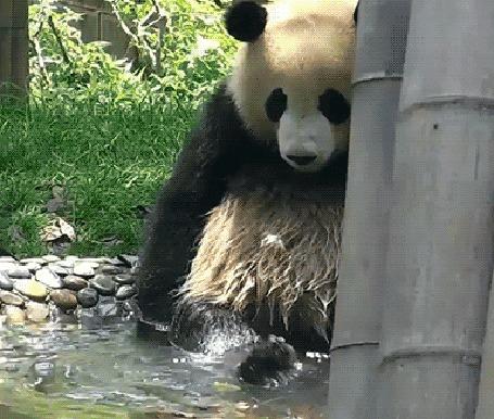 Анимация Панда плещется в воде