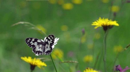 Анимация Бабочка слетает с ромашки