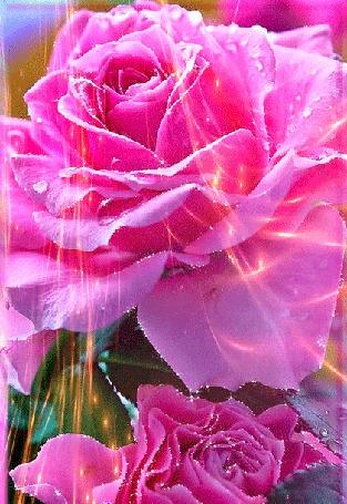 Анимация Розовые розы в сиянии огней