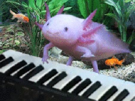 Анимация Аксолотль играет на пианино, за ним наблюдают золотые рыбки