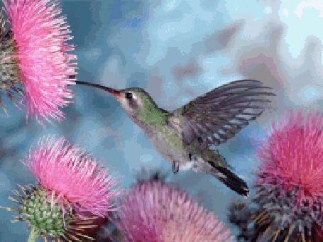 Анимация Колибри пьет нектар из цветка